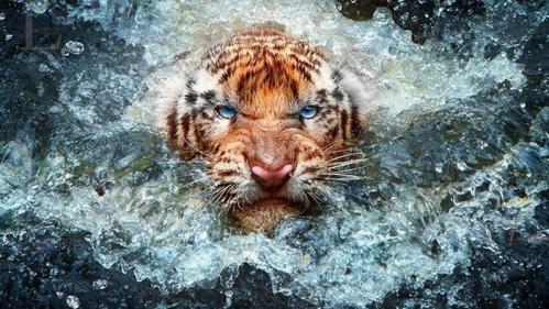 animal-sauvage-epoustouflant-tigre